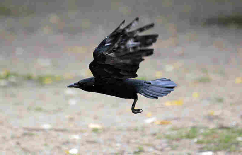Bird species like crows that stick around urban and suburban zones when other birds have left or died out due to habitat loss tend to be excellent hosts for the West Nile virus, a mosquito-borne disease on the rise among humans and other animals in the United States. Credit: Jacques Demarthon/AFP/Getty Images