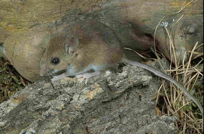 The white-footed mouse has emerged as a successful host for ticks and Lyme disease, in part because, unlike the opossum, it thrives in urban and suburban environments. Credit: Roger W. Barbour/Smithsonian Natural Museum of Natural History