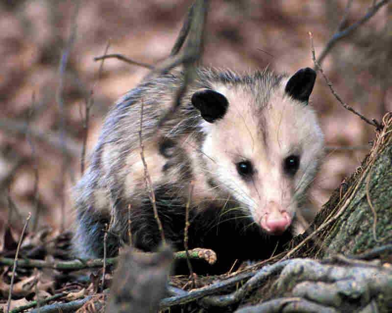 The Virginia opossum can serve as a biological buffer between the Lyme bacterium and the humans it can sicken by picking and killing off ticks. But in recent years, opossums have disappeared from Northeastern forests, and Lyme disease has infected more people. Credit: Encyclopedia of Life