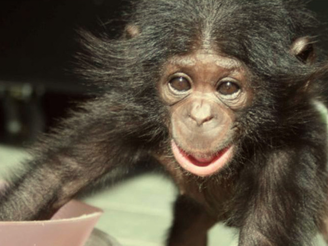 """a group discussion on the film ape genius differences between apes and humans The pbs documentary titled """"ape genius"""" delves in to the dynamics of the genetic relationship between human beings and apes  differences between humans."""