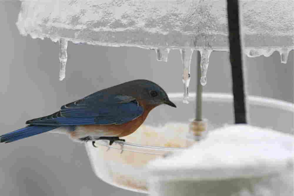 An Eastern bluebird on an icy feeder