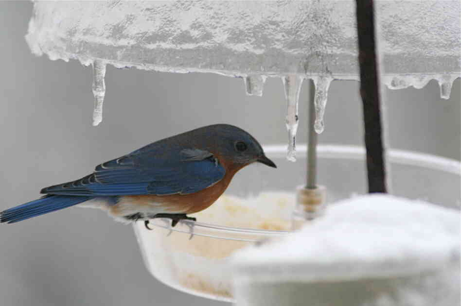 An Eastern bluebird on an icy feeder