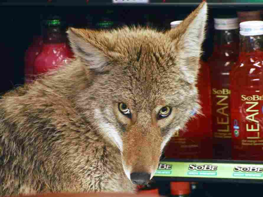 Coyote in a cooler at a Quizno's in Chicago