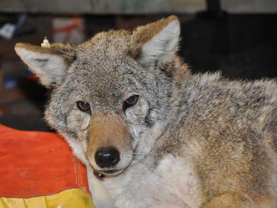 Big Mama, the coyote