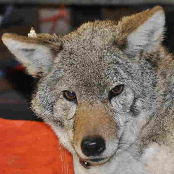 60 Wild Coyotes Patrol Chicago (And Occasionally Stop At Convenience Stores)