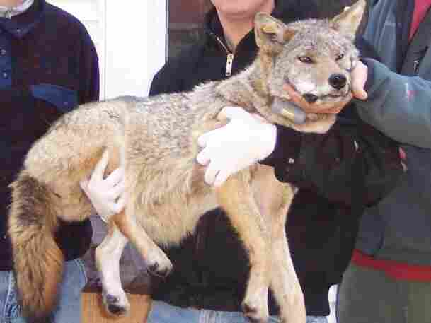 An image of a coyote, Big Mama, after being captured in 2004.