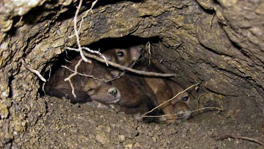 A group of coyote pubs in their den.
