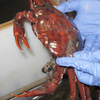 A discolored crab is pulled up from the bottom of the ocean