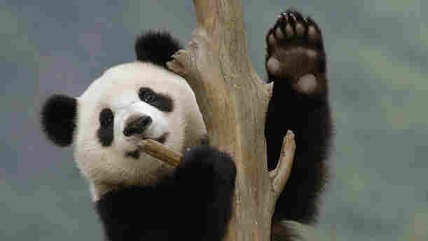 A Giant Panda cub climbs a tree.