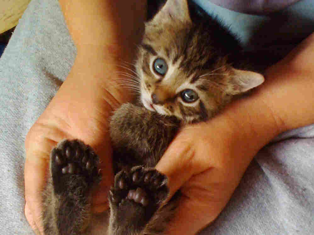 Georgina the polydactyl kitten poses reluctantly to show off the six toes on each of her back feet.