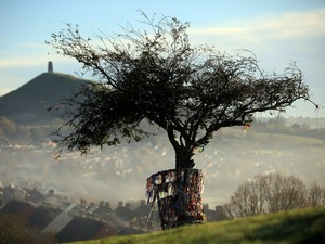 The rare thorn tree in Glastonbury, England, before it was vandalized .