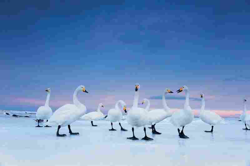 "Whoopers settle down for the night on the frozen Hokkaido's Notsuke Bay in Japan. In some places, the swans are a tourist draw, which, a Japanese bioligist says, is ""good for tourism, not the swans."""
