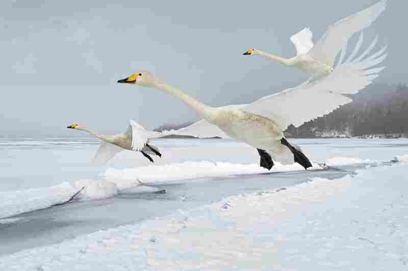 Whooper swans can take flight either from the water or solid ground. One migration route, the 800-mile-long flight from Iceland to Ireland, is likely the longest sea crossing by any swan species.