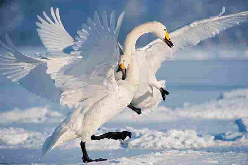 A pair of whoopers face off in Japan. Breeding territory spans half the globe, from Iceland to the Aleutians.