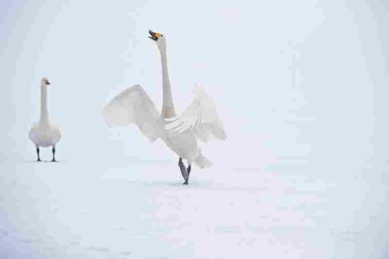 A whooper spreads its wings to show off.