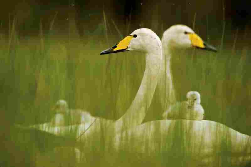 Young swans are born white and open-eyed, and join their parents for fall migration.