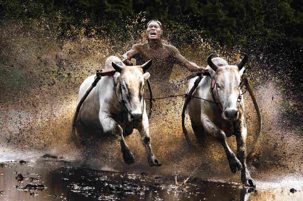 Finalist, people category: Buffalo race, Indonesia