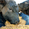 Maine-Anjou bulls eat a corn-based fattener feed in Owasso, Oklahoma. Rising corn prices have led to higher costs for farmers -- and more expensive beef.