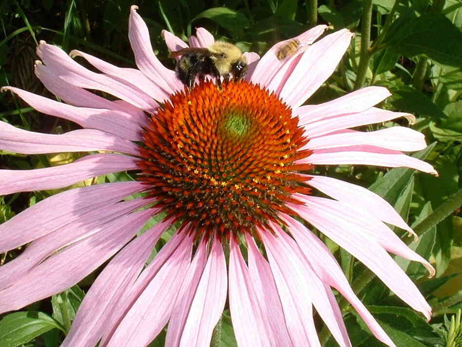 Bees sample an echinacea flower.