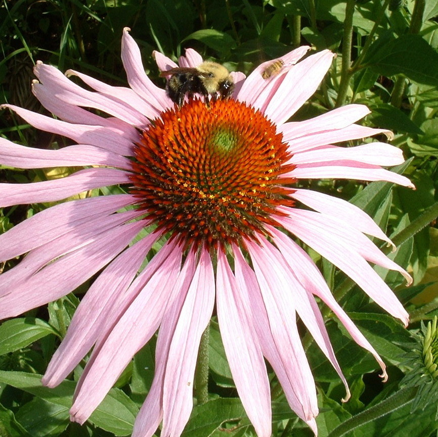 if echinacea does anything for colds it isn 39 t much shots health news npr. Black Bedroom Furniture Sets. Home Design Ideas