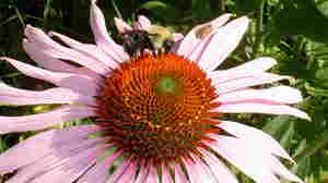 If Echinacea Does Anything For Colds, It Isn't Much