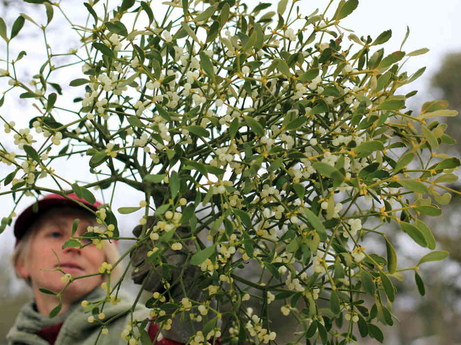 Helen Brent-Smith harvests mistletoe in the orchard at Day's Cottage Apple Orchard on Dec. 2 in Gloucestershire, England. Many mistletoe growers in the UK are gearing up for Christmas in spite of the severe weather still affecting many parts of the country.