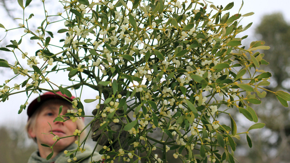 A woman harvests mistletoe in an orchard in Gloucestershire, England, earlier this month.