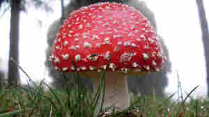 The hallucinogenic mushroom Amanita muscaria.