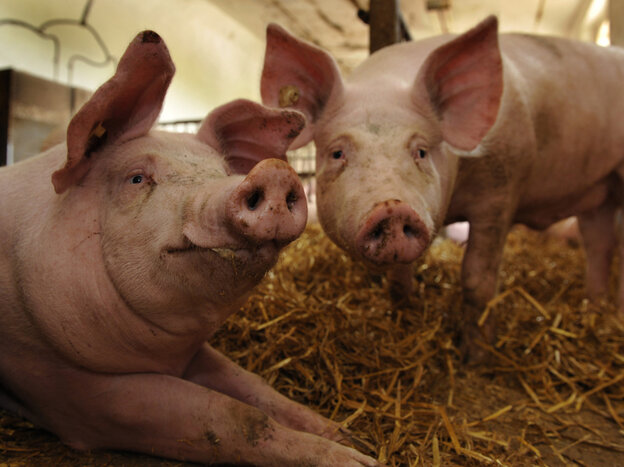 The next pandemic flu virus could come from pigs, but are we monitoring their health closely enough?