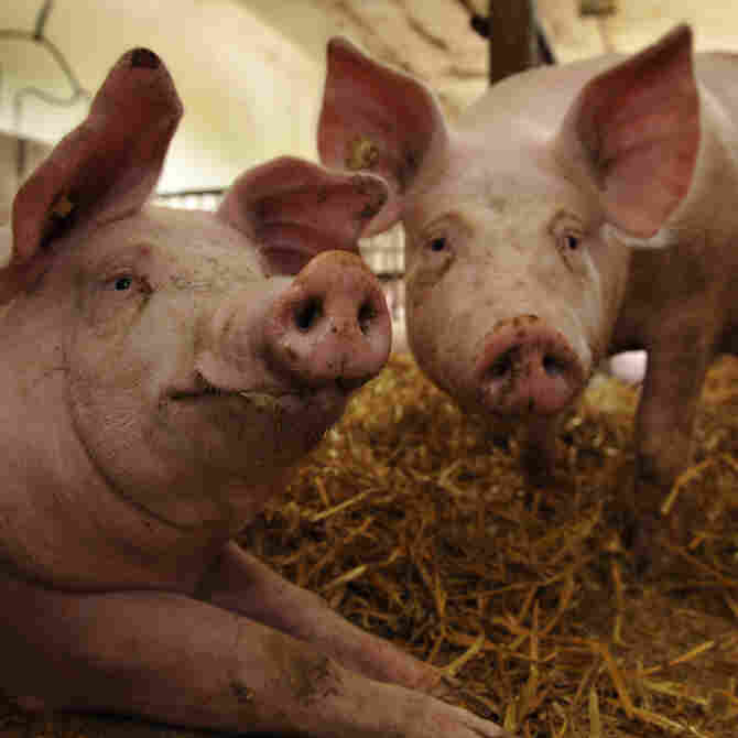 Scientific American: U.S. Pig Farms May Be 'Flu Factories'