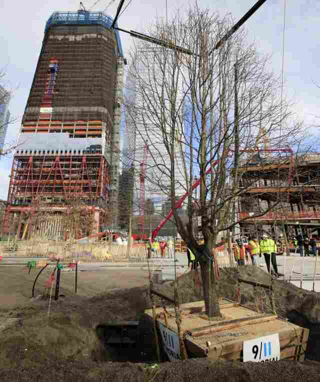 The Survivor Tree, at the World Trade Center site on Wednesday.
