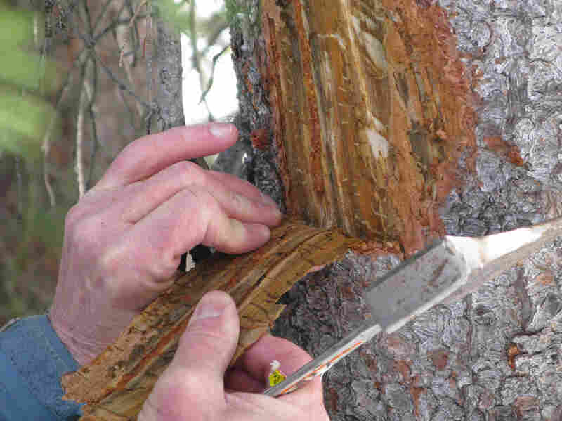 Logan hacks into a tree that was killed this winter, revealing countless translucent larvae and some adult beetles. If enough beetles attack, they can cut off a tree's circulatory system. Then beetles lay eggs in the tree's inner bark, which is called the phloem.