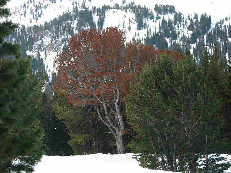 Dead trees turn red, and, once the needles fall off, they turn gray. Red and gray whitebark forests have become common scenery on the high mountain slopes of Yellowstone, the Tetons and much of the U.S. Northern Rockies.