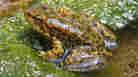 Endangered Calif. Frog Population Gets A Jump-Start