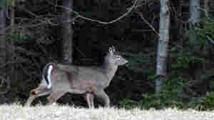Deer Get Revenge With A Pox On 2 Hunters
