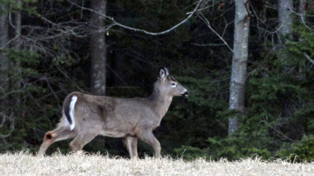 A white-tailed deer browses at the edge of a farm field in Brunswick, Maine.