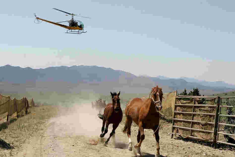 In this 2005 file photo, the BLM uses helicopters to round up wild horses in Nevada.