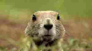 A black-tailed prairie dog peers out of its burrow.