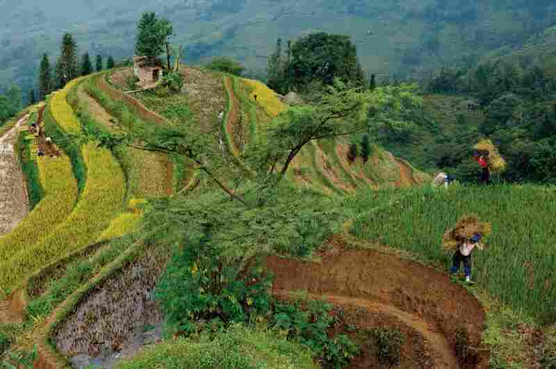 Using every fertile inch, farmers harvest rice in the hills of Yunnan Province. High-yield seeds and ample fertilizer allow China to feed its billion-plus people on less than 10 percent of the Earth's arable land.