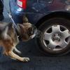 U.S. Border Patrol officer Michael Avelar and drug-sniffing German Shepherd Ali inspect a vehicle.