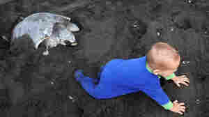 A human baby typically weighs about 6 percent of what its mother weighs. Large, helpless infants required more care from adults and may have contributed to the creation of stable communities. This baby, seen on a beach in Costa Rica, crawls next to an olive ridley sea turtle.