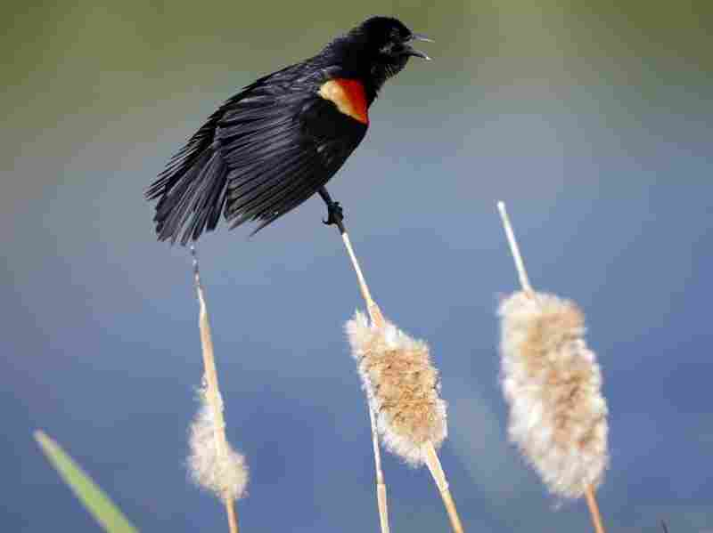 A red-winged blackbird on a cattail.