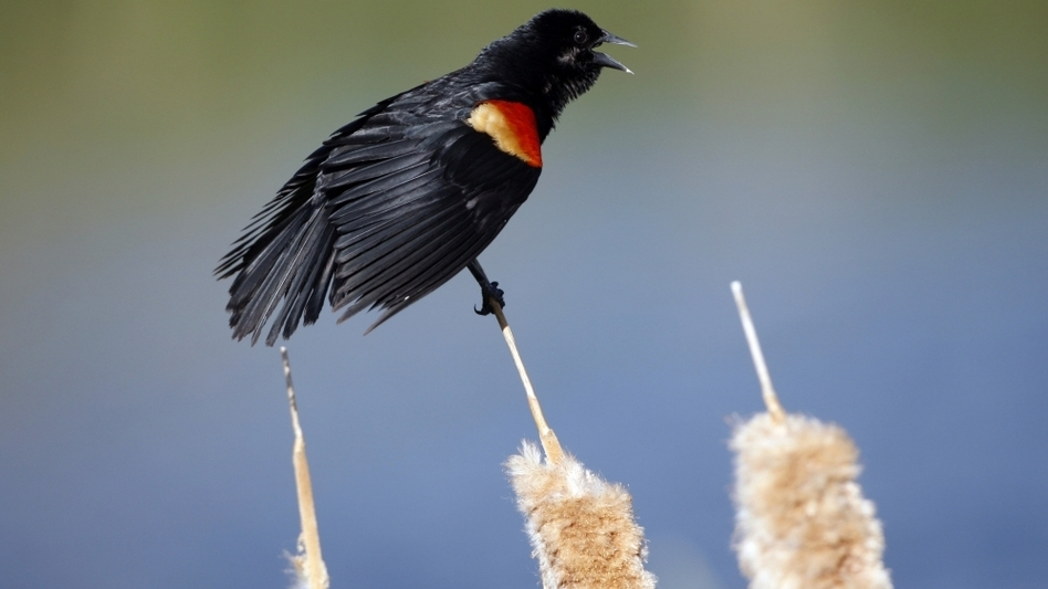 A red-winged blackbird on a cattail. More than 5,000 red-winged blackbirds have plummeted to their death in Arkansas and Louisiana.