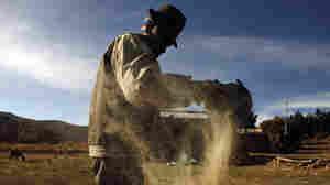 Demand For Quinoa A Boon For Bolivian Farmers