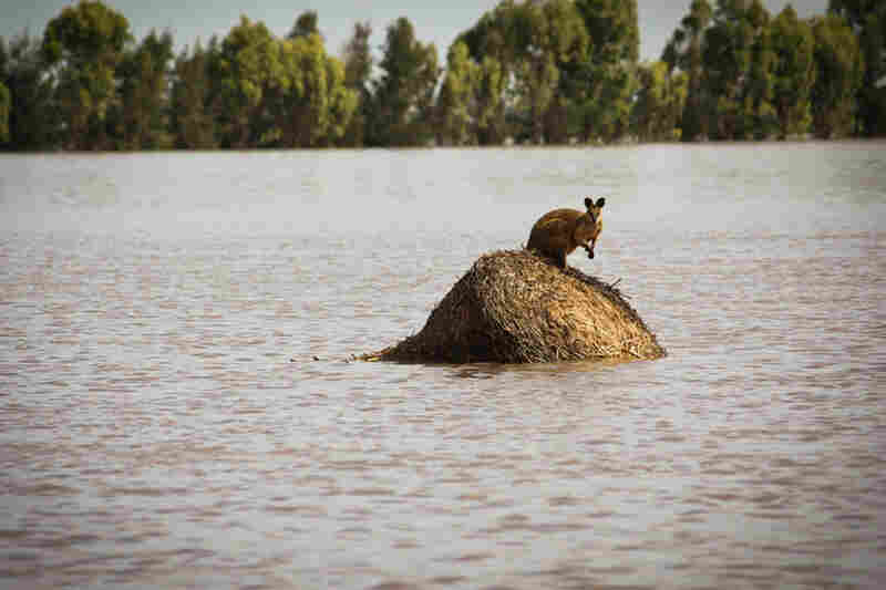 A trapped wallaby stands on a large hay bale outside the town of Dalby in Queensland.