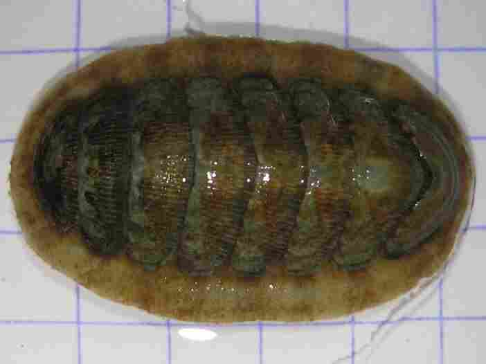 Chiton are small, flat mollusks that have eight shell plates.