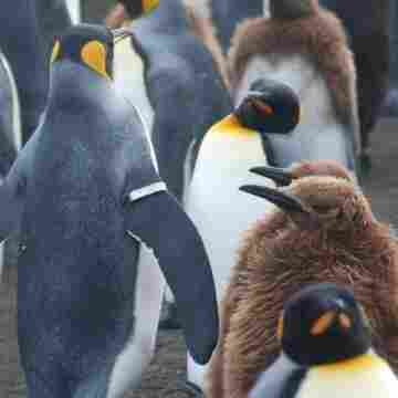 Researchers say metal flipper bands like the one on this penguin lowered survival rates and harmed the number of chicks the banded birds produced.