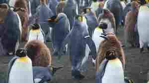 Banding Penguins Could Drag Down Their Population
