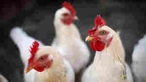 Genetically Modified  Chickens Don't Pass On The Flu