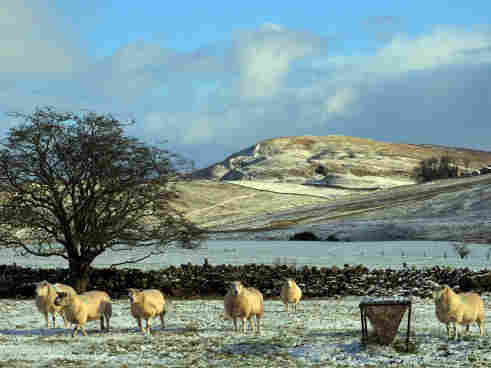 Sheep in north-east England.